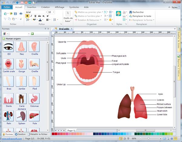 Diagramme vectoriel d'organes humains