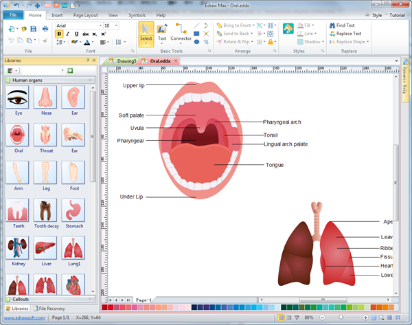 Vector human organs illustration Simple drawing program for windows