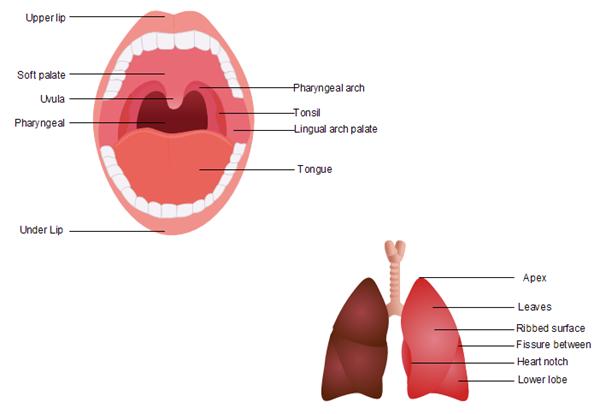 Human Organs Templates