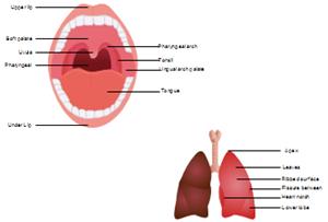 Human Organs Diagram Examples