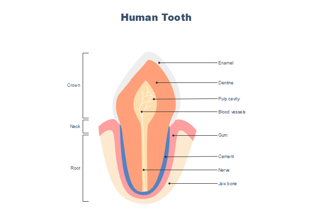 Incisor Tooth Anatomy