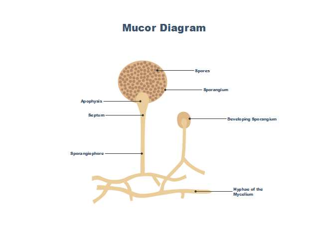 Mucor Diagram