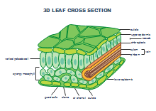 3D Leaf Cross Section