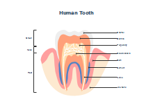 Molar Tooth Anatomy